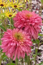 368 best gardening coneflowers images on pinterest garden plants