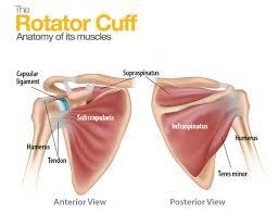 Anatomy Of Rotator Cuff Why Did I Injured My Rotator Cuff Naples Orthopedic Doctor