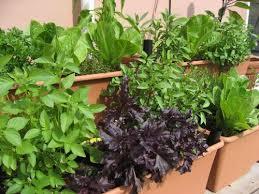 kitchen garden vegetable plants garden