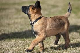 belgian sheepdog breeds belgian malinois puppies breed at a glance
