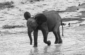 world elephant day u2013 wcs congo blog