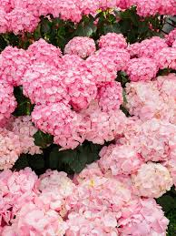 pink hydrangea 1185 best flowers plants and gardening ideas images on