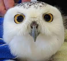 snowstorm owls winter 2015 16 project snowstorm