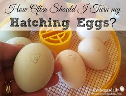 how often should i turn my hatching eggs fresh eggs daily