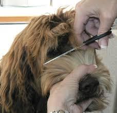 doodle doo labradoodles royal labradoodles grooming on a wavy fleece coat