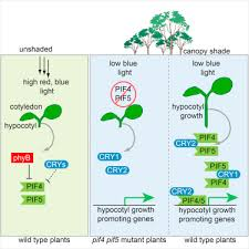 light and plant growth cryptochromes interact directly with pifs to control plant growth in