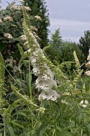 sweet viburnum 200mm pot viburnum 79 best our garden images on pinterest plants flower gardening