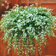 Best Plants For No Sunlight Bacopa U0027snowtopia U0027 Sutera Cordata Half Hardy Annual Beautiful