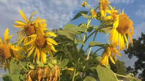 harvest seeds and native plants crop focus heirloom mammoth sunflowers harvesting abundant