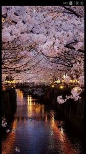 Japanese Cherry Blossom Tree by 291 Best Cherry Blossom Images On Pinterest Spring Landscapes