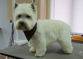 images of westie hair cuts westie dogs pinterest westies west highland white and dog