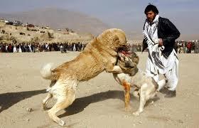 سگ های درنده افغان