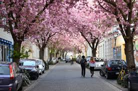 best places for cherry blossoms in germany