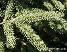 picea pungens colorado blue spruce tree for a large privacy screen
