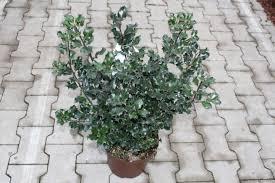 common blue evergreen shrubs ornamental