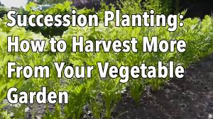 succession planting how to harvest more from your vegetable