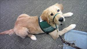 guide dog harness one second a day gdb guide dog in training lombard youtube