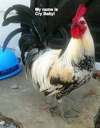 Rooster Meme - rooster named cry baby the sky is falling chicken little know