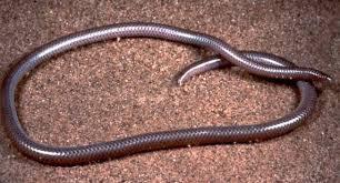 Madagascar Blind Snake Geol431 Vertebrate Paleobiology