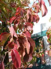 ornamental pear capital grow master heatherton