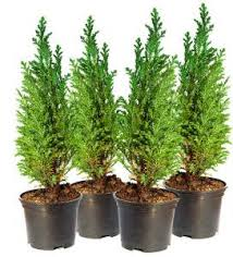 trees and shrubs spruce it up we also carry large caliper trees