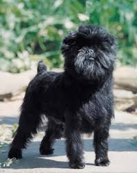 affenpinscher white affenpinscher breed information history health pictures and more