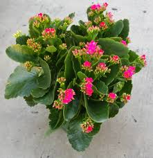 madagascar native plants a kalanchoe blossoming this is a kalanchoe blossfeldiana aka