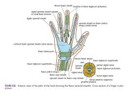 Tendon Synovial Sheath Human Medecine The Palm Of The Hand Skin The Palmar Aponeurosis
