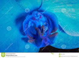 blue orchid flower blue orchid flower stock photo image 68313944