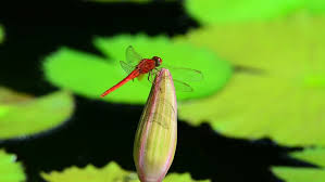 Dragon Lily Flower - a dragon fly lands on the flower of a lily pad as it blows in the