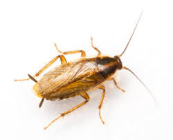 roaches in my bathroom 5 signs of a german roach infestation and how to get rid of them