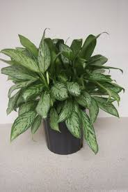 Greenliving by Aglaonema Maria Super Hardy Green Living