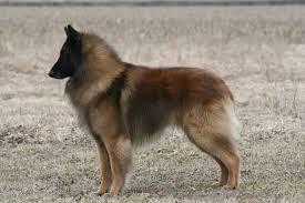 belgian sheepdog calendar conformation champions redwood belgian tervuren fanciers inc