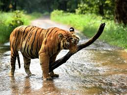 forest u0026 wildlife news tigers news from india