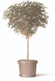 Low Light Indoor Trees Tall Indoor Plants Cepagolf
