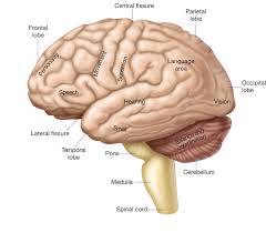 Anatomy And Physiology Ear The Cerebrum Anatomy Of The Cerebrum Physiology Of The