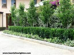 ornamental pear with lilipilly hedge and ground cover