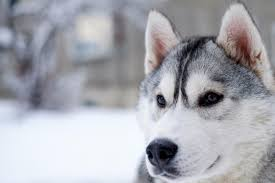 american pitbull terrier vs siberian husky staggering facts about the siberian husky