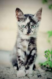 beautiful kittens tuxedo cats beautiful kittens cat and animal