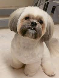 shichon haircuts girl shih tzu haircuts shih tzus feeling clean and pretty after
