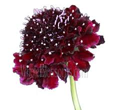burgundy flowers buy burgundy scabiosa flower at wholesale bulk