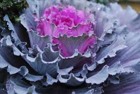 ornamental cabbages dirt simple