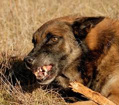 belgian sheepdog brown aggressive purebred belgian shepherd malinois in a field stock