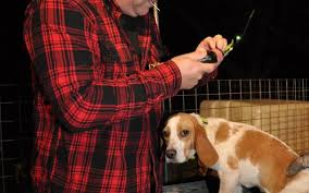 Radio Collar For Beagle Outdoors Hunting For Rabbits Feb 15 2017 News U0026 Observer