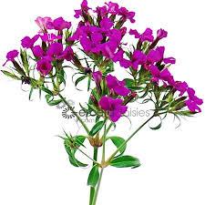 Bulk Flowers Bulk Flowers Purple Dianthus