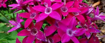 pentas flower cluster flower pentas pentas lanceolata