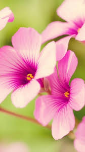 flower wallpaper for nokia x pink flowers spice wallpapers 480x854 phone hd wallpapers