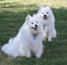 american eskimo dog london our american eskimo dog sammy animals our dogs pinterest