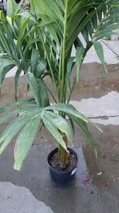 1 2 3 or 4 live 2 ft tall pygmy date palm 2 gal pot