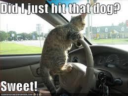 Driving Meme - cat driving meme global animal